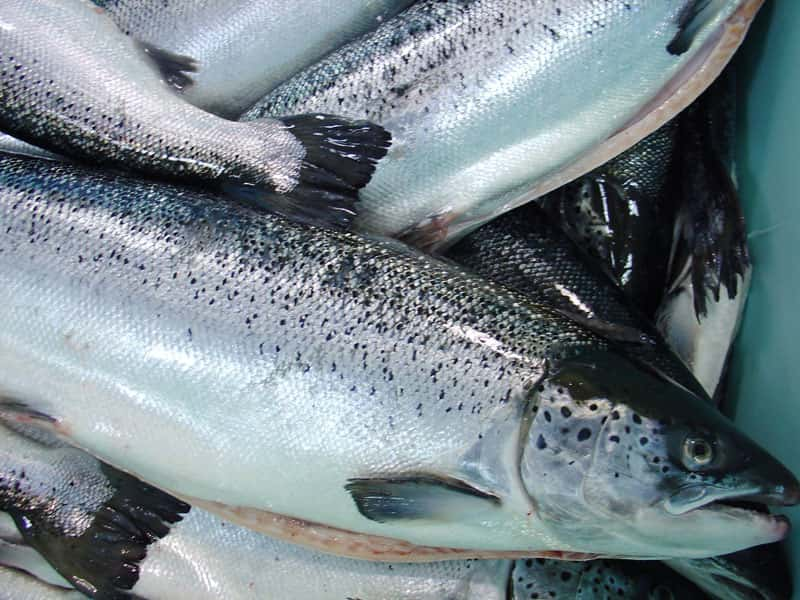BIODIVERSITY: The Real Price of Farmed Salmon